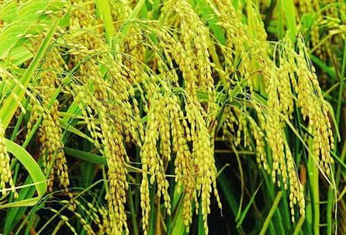 有机大米如何存放不生虫发霉